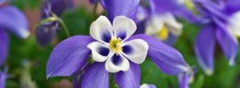 How To Grow Columbines