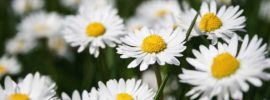 Caring For English Daisies