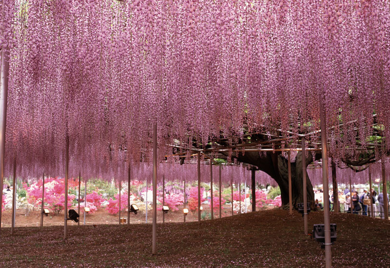Japanese-Wisteria-Tree
