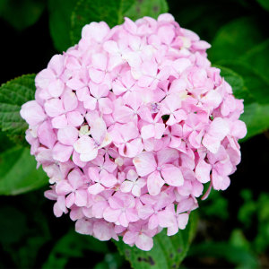 11 Beautiful Hydrangea Flowers