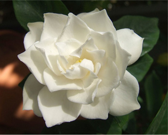 The Different Types of Gardenias