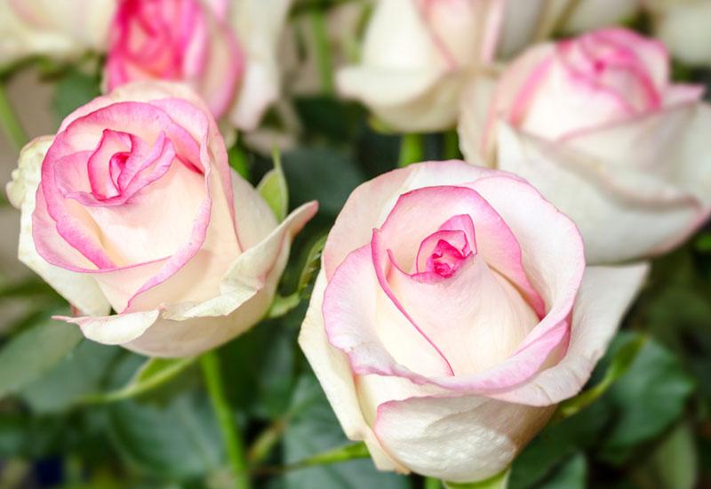 white-pink-rose