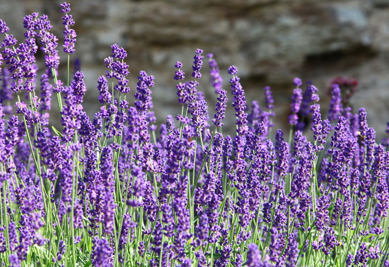 20 favorite perennial flowers garden lovers club the plants are native to the mediterranean region and should only be grown in full sunlight flowers are purple mightylinksfo