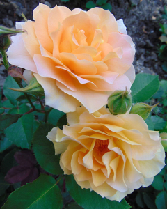 Fragrant Roses Can Grant Your Garden The Perfect Scent