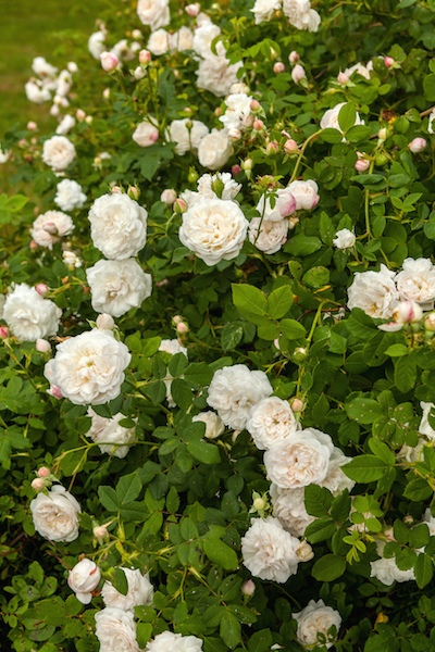 Fragrant roses can grant your garden the perfect scent garden madame plantier the madame plantier was first bred in 1835 and remains popular to this day viewing the lush white flowers and smelling the particularly mightylinksfo
