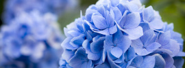 How To Get Your Hydrangeas To Turn Blue