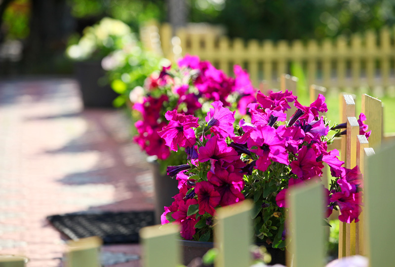 Petunia Flowers on White Fence