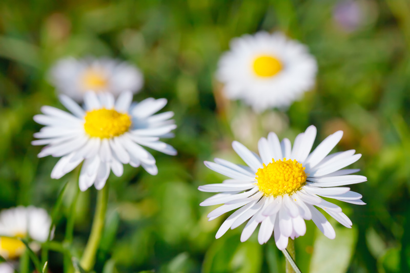 5 common daisy flowers that are perfect for beginning gardeners shasta daisies or leucanthemum x superbum are commonly grown perennials with the classic daisy appearance of thin white petals around a bright yellow mightylinksfo