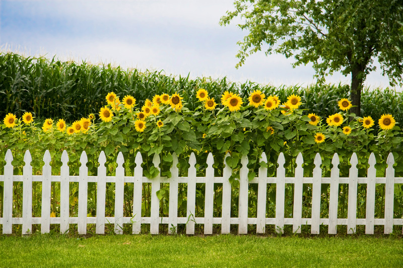 Sunflowers White Fence