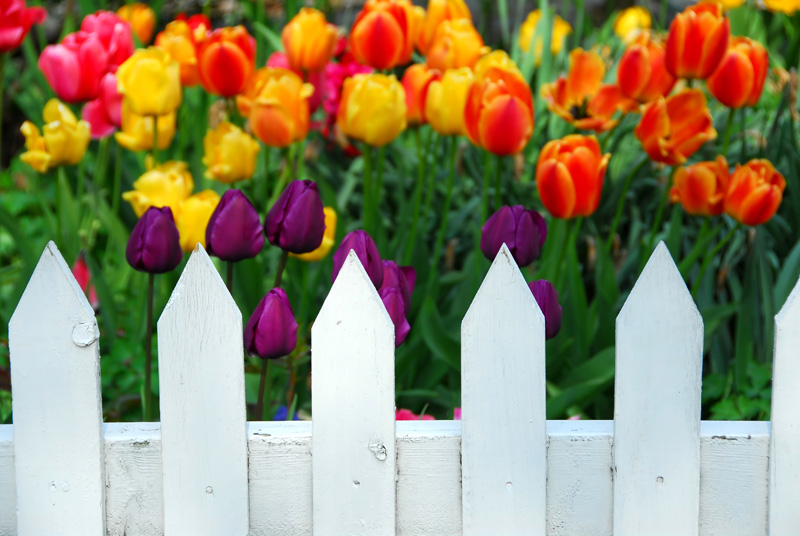 Tulips behind White Fence