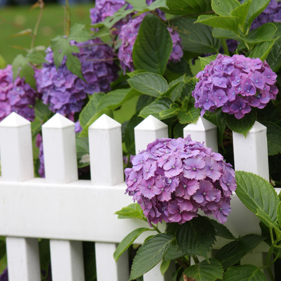 White Picket Fence Purple Hydrangeas