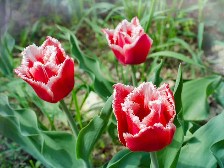 The Surprisingly Different Types Of Tulips Garden Lovers