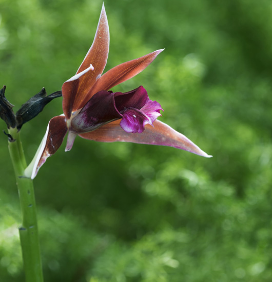 Nuns Orchid