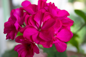 The Different Types of Low-Maintenance Geraniums