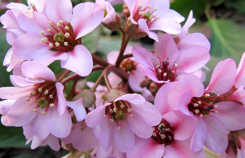 Image result for bergenia flower: