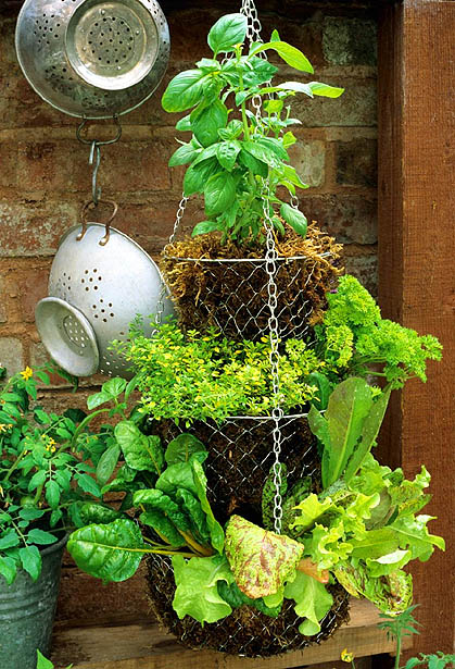 HIGH RES 0054657.jpg Hanging basket - Suspended salad bar with sweet basil, golden thyme, parsley, yellow veined chard and Lettuce including 'Freckles' GAP Photos/Graham Strong