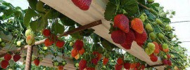 the-perfect-diy-rain-gutter-strawberry-planter1