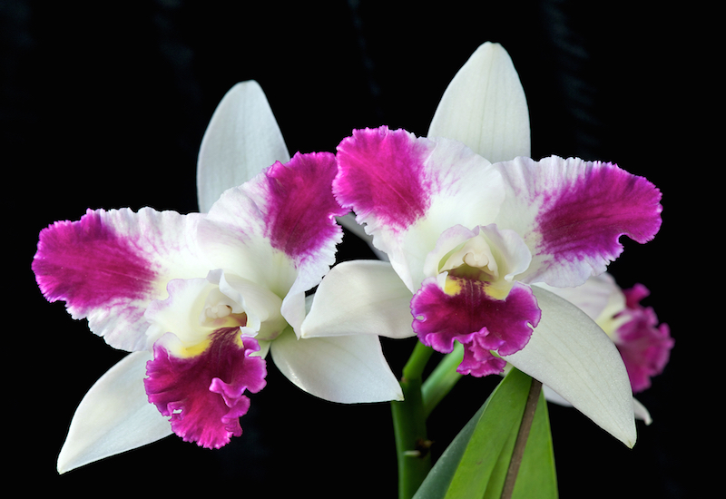 11. Shutterstock Corsage Orchid