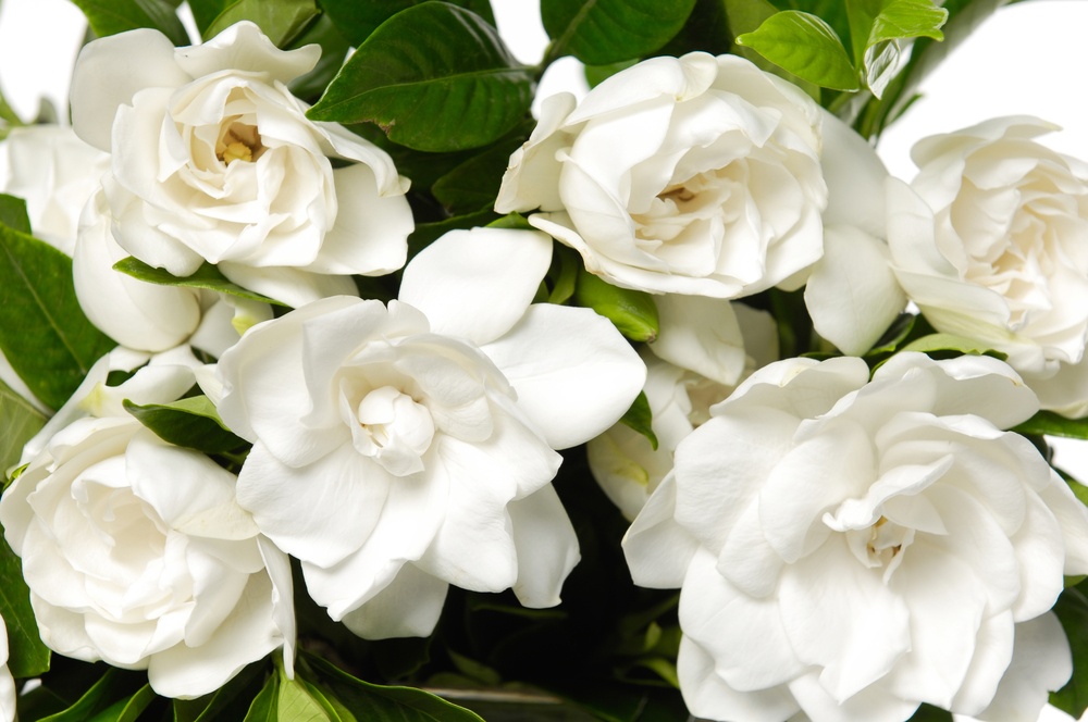 The Different Types Of Gardenias Garden Lovers Club