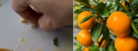 Simple Trick to Grow Orange Trees From Seeds REALLY FAST