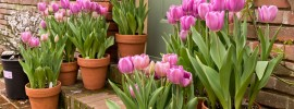 Learn How to Plant Tulip Bulbs in Containers