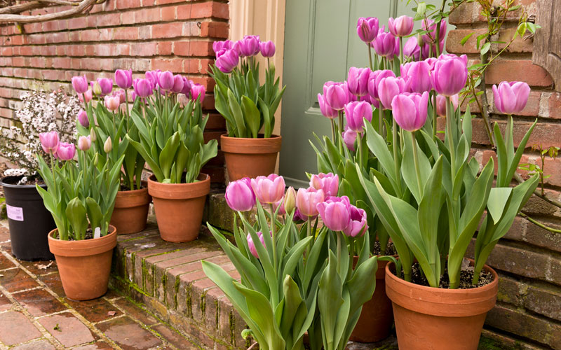 Learn How To Plant Tulip Bulbs In Containers Garden Lovers Club