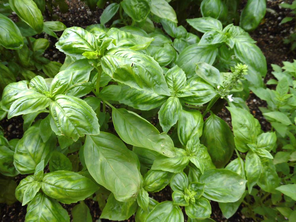 Basil is a great choice for planting in a strawberry jar, particularly if you're aiming to keep an herb garden. Basil loves sunshine, but is frost sensitive, so having it in a pot that you can move indoors during periods of frost or cold weather is helpful. Just remember, basil needs a lot of fertilizer!