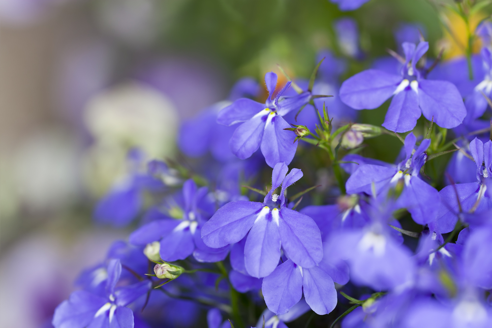 Lobelia is a lovely annual herb that is easy to grow and does well in cooler weather. The purple blooms erupt in summer, although the flowers last until the first frost. Traditionally, the herb was used to treat asthma or to induce vomiting. In your garden, they'll provide a pop of color as ground cover or in a strawberry jar!
