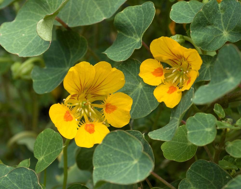 These yellow and orange beauties are annuals that have edible leaves and flowers. They do particularly well in containers and have a soft, but pretty fragrance. They also are great plants to grow with your children, as they grow easily and very quickly.