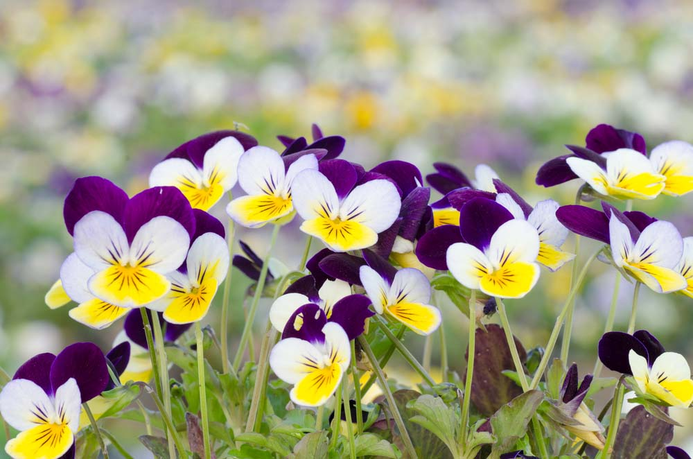 Pansies are a common flower that you're sure to spot in nearly every garden, and that's no surprise, seeing how hardy they are. These annuals appear to have small faces on them, and come in an outrageous range of colors. These small flowers are sure to spice up any container garden, strawberry jar or no strawberry jar!