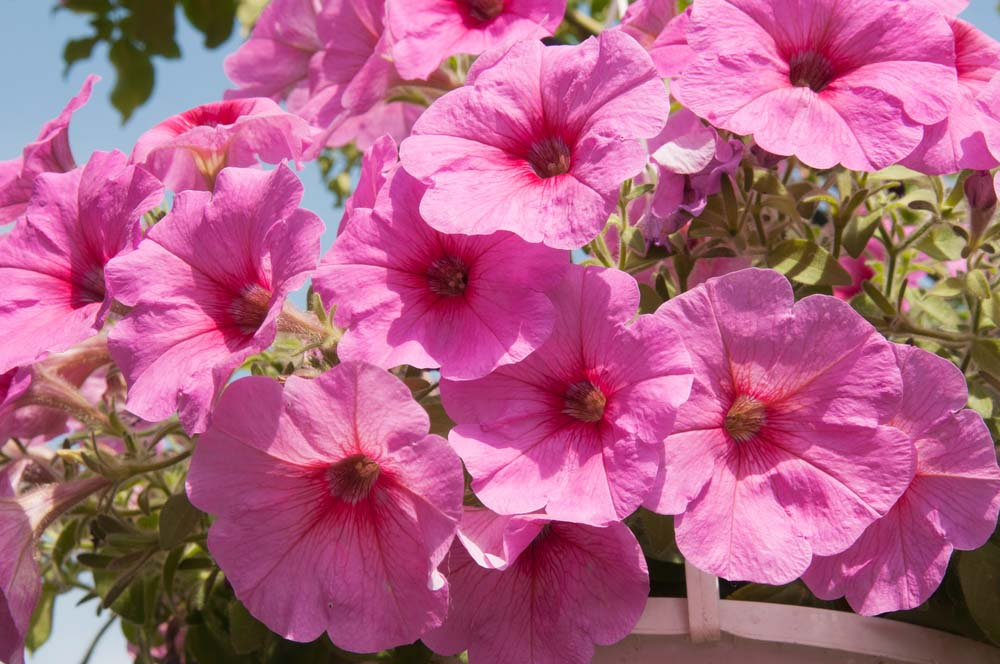 Petunias are another of those flowers almost anyone will recognize. They are easy to grow, even from seeds, and love sunshine. Use these showy, big flowers as filler anywhere you need them. They come in tons of colors and patterns, so you're sure to find the perfect variety for your container garden or planter.