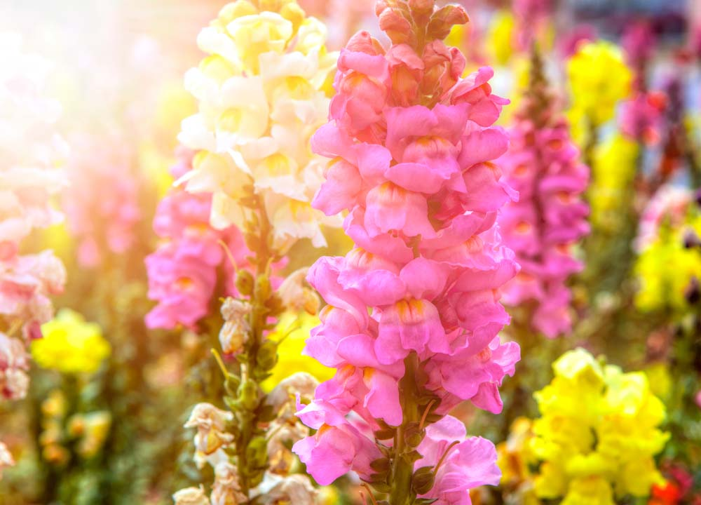 These beautiful, tall flowers come in many colors, including pastels, as shown above. Snapdragons come in a wide range of varieties that can range from very tall to exceptionally short. Think as high as 3 feet, or as short as 6 inches. Snapdragons can handle frost, so plant in early spring.