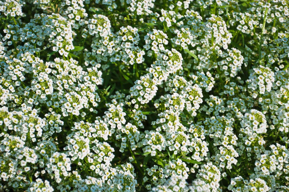 Sweet Alyssum is a drought-resistant hardy plant that also handles the heat well. These are annuals, but they will self sow and you'll have year after year of color, especially in milder climates, without frost. The flowers are usually white, yellow, or purple, and bloom in small clumps.