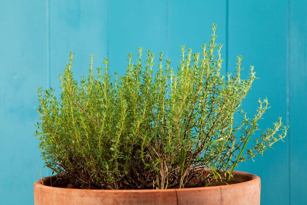 Thyme is another of those lovely herbs that are a must have in any container herb garden. The woody stems offer some great contrast to softer looking flowers or plants, and they have a fantastic scent that pairs well with sage, rosemary, and other herbs.