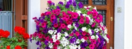 Tips on How to Grow Lovely Hanging Baskets