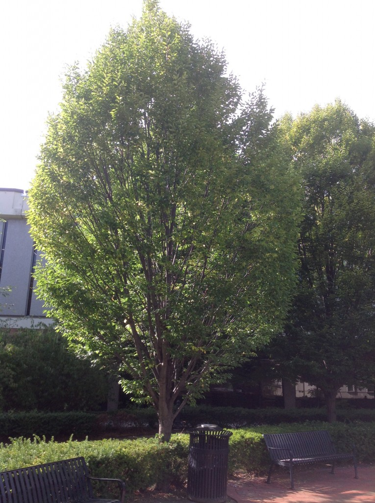 The American Hornbeam is a shade tree that can fit into the compact space of a container and therefore, looks great indoors.