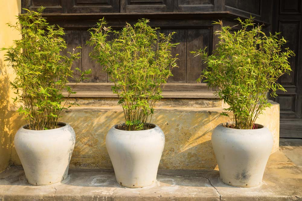Bamboo is a fast-growing plant that can be a little tricky to grow indoors.
