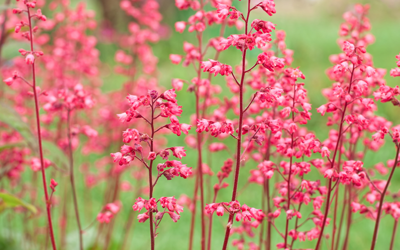 11 gorgeous plants for shady borders garden lovers club coral bells have low foliage with high growing bell shaped flowers of white red coral or pink the flower stems can grow up to 2 feet tall mightylinksfo