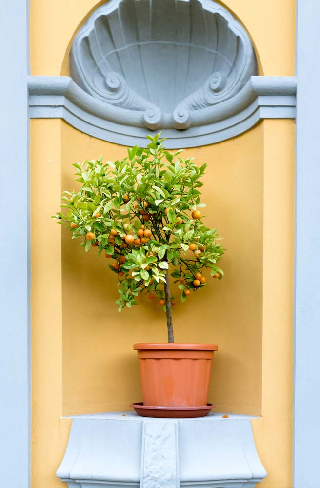 Dwarf Lemons will need around 8-12 hours of sunlight daily and consistent watering, otherwise they will not bear fruit.