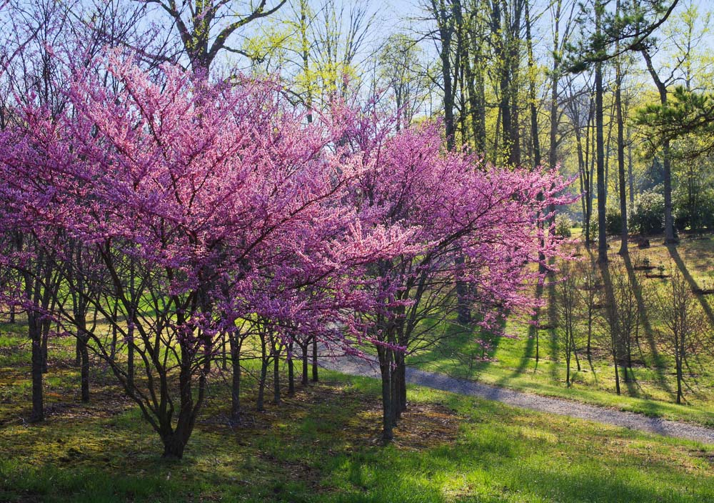 Eastern Redbud Trees have attractive heart-shaped leaves and beautiful pink blossoms. They need well-draining soil, full sun, and plenty of maintenance if you're going to bring them indoors.