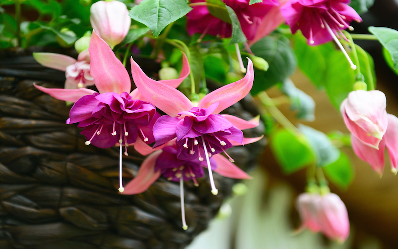 25 best plants for hanging baskets garden lovers club 25 flowers that look immaculate in hanging baskets mightylinksfo
