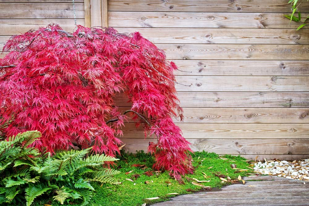 As one of the most sought after ornamental trees, Japanese Maples comes in a variety of sizes, including ones that are suitable for growing in a container.