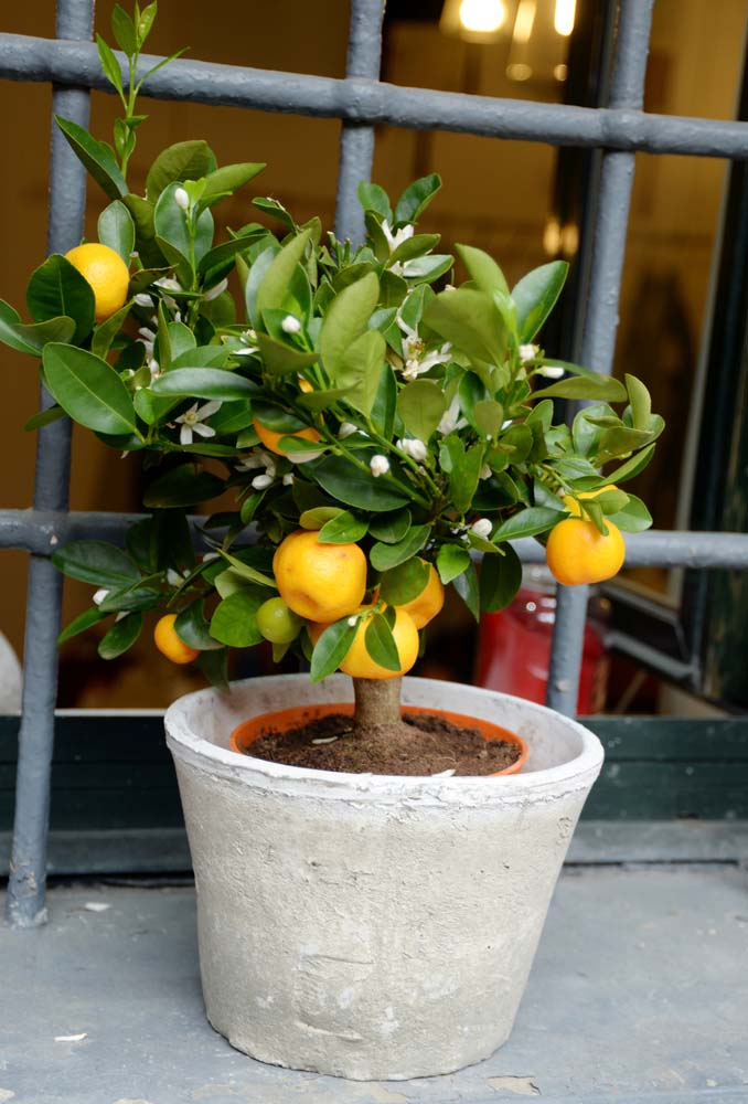 Your best pick for growing an orange tree, or any citrus tree, is to pick a dwarf variety.
