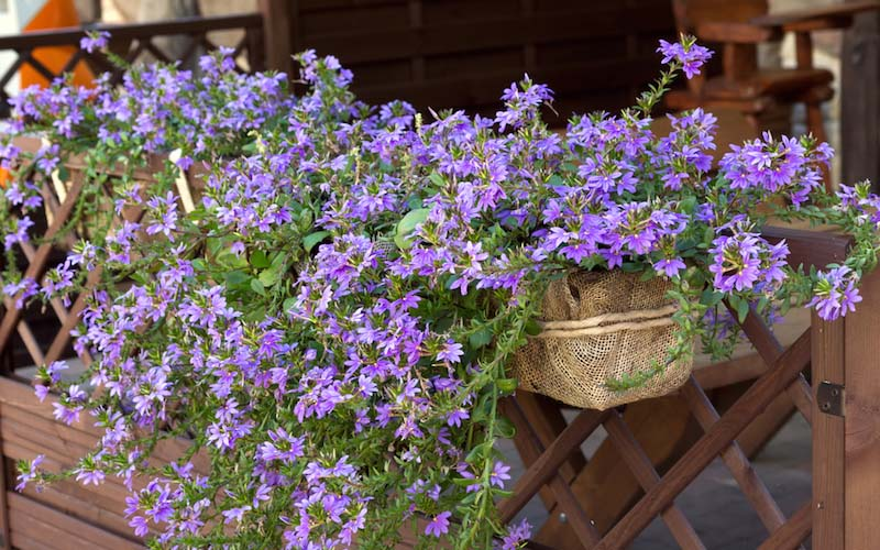 25 best plants for hanging baskets garden lovers club scaevola flowers are ideal for hanging baskets the stalks branch out from the center of the plant and the tiny flowers seem to float around the vines mightylinksfo
