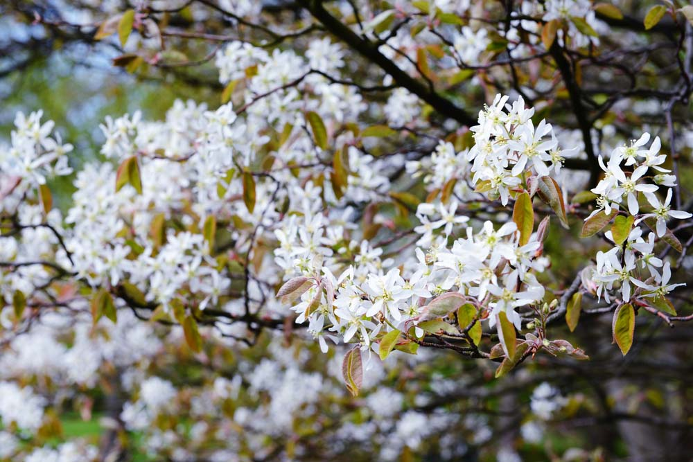 Serviceberry trees are shrub-like and have flowers that seem to change colors often.