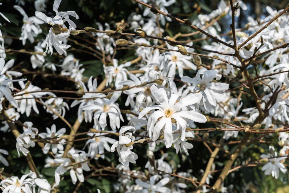 The Star Magnolia is one Magnolia cultivar that is recommended for growing in a container.
