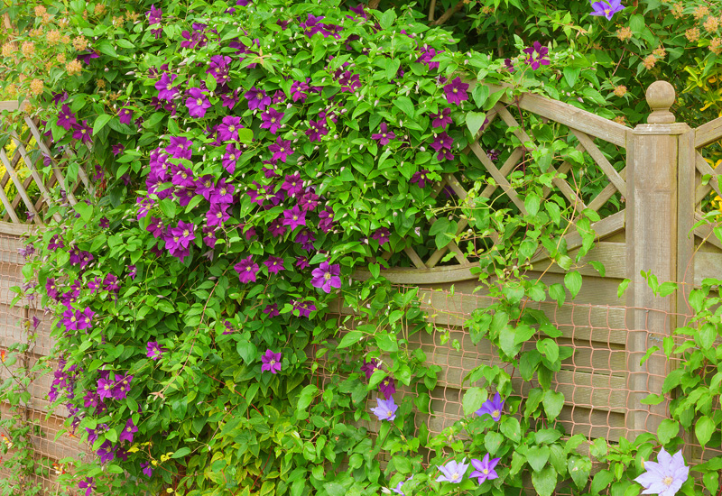 10 plants for privacy and beauty garden lovers club clematis vine mightylinksfo