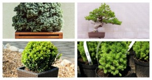 7 Beautiful Evergreens That Are Well-Suited For Growing Indoors