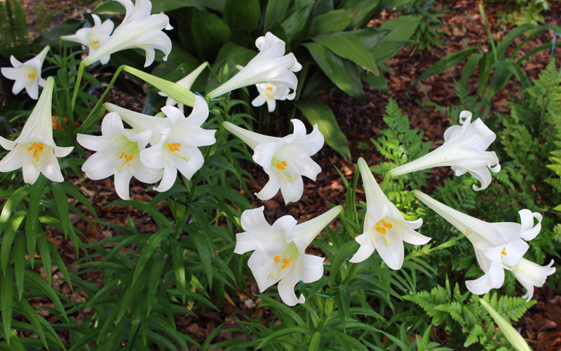 Easter-lily-01