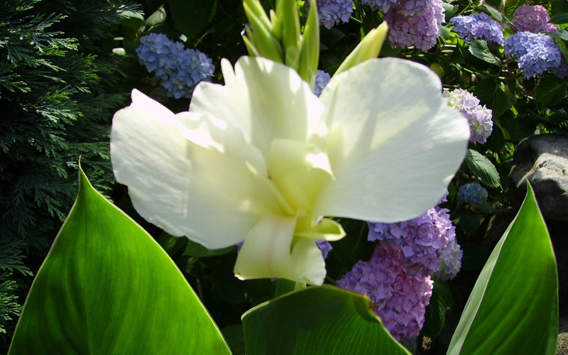White-Canna-Lily-01